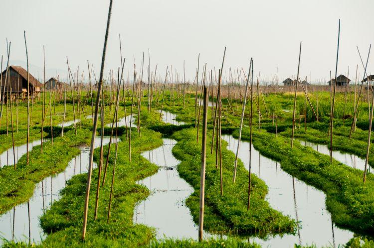 Jardins flottants sur le lac Inle